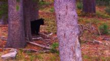 Black Bear Cub Stands Between Two Whitebark Pine Trees - Wide