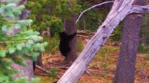 Black Bear Cub Climbs Down Whitebark Pine Tree To Join Family On Ground - Medium