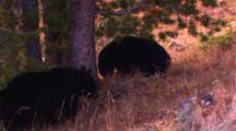 Two Black Bear Cubs Stands At Base Of Whitebark Pine Tree And Collect Cones That Fall On The Ground As Their Mother Knocks Them Out Of The Top Of The Tree - Medium
