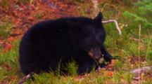 Black Bear Cub Lies On Ground And Eats A Whitebark Pine Cone - Medium