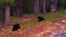 Two Black Bear Cubs Eat Whitebark Pine Seeds On The Forest Floor As Cones Fall From The Tree Top - Their Mother Is Off Frame Knocking Them Out Of The Tree - Wide