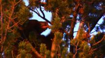 Black Bear Eats Whitebark Pine Seeds In The Top Of A Whitebark Pine Tree - Golden Light - Tight