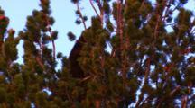 Black Bear Eats Whitebark Pine Seeds In The Top Of A Whitebark Pine Tree, Breaks Branch To Get Cone - Golden Light - Tight