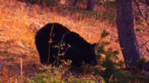 Black Bear Looks For Cones At The Bottom Of A Whitebark Pine Tree - Medium
