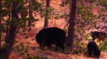 Black Bear And Cub Look For Whitebark Pine Seeds At Base Of Tree, Mother Stands Up On Tree - Medium