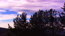 Black Bear Collects Seeds In Top Of A Whitebark Pine Tree Silhouetted Against Purple Sky - Wide