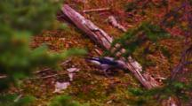 Clark's Nutcracker Stashes Whitebark Pine Seeds, Second Nutcracker Chases First Bird Off - Medium
