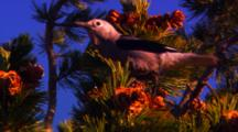 Clark's Nutcracker Collects Pine Seeds From Cone At The Top Of A Whitebark Pine Tree - Very Tight