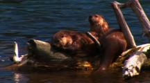 Two River Otters Interact On Log, Slide Off Into Lake - Medium