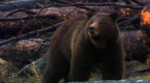 Grizzly Bear Stands And Sniffs In Burned Forest - Medium