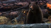 Grizzly Bear Sits And Sniffs The Air In Burned Forest - Medium