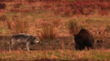 Grey Wolf And Grizzly Bear Interact On Bank Above Carcass In River, Wolf Barks And Snaps At Bear, Bear Lunges At Wolf, Defecates