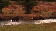 After Chasing Grey Wolf Away, Grizzly Bear Gathers Up Elk Carcass In River While Wolf Lays In Meadow -Wide