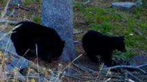 Two Black Bear Cubs Eat Seeds At Base Of Whitebark Pine Tree - Medium