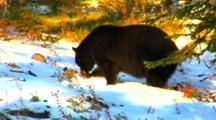 Black Bear Eats Whitebark Pine Seeds In A Patch Of Snow - Medium