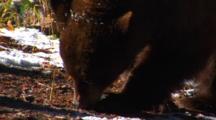 Cinnamon Black Bear Eats Seeds From Whitebark Pine Cone - Tight