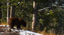 Cinnamon Black Bear Eats Seeds From Whitebark Pine Cone Tilt Down From Trees - Wide