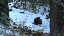 Grizzly Bear Lies In Snow And Eats Seeds From Whitebark Pine Cone - Medium