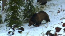 Grizzly Bear Walks Through Snowy Forest, Stops And Picks Up Whitebark Pine Cone, Starts Eating It - Medium