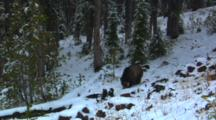 Grizzly Bear Eats Seeds From Whitebark Pine Cone In Snowy Forest - Wide