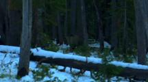 Grizzly Bear Searches For Whitebark Pine Cones In Snowy Forest - Leaves Frame - Wide