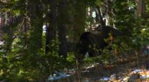 Grizzly Bear Searches For Whitebark Pine Cones In Forest - Medium