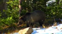 Grizzly Bear Walks Through Whitebark Pine Forest Searching For Cones, Leaves Frame - Medium
