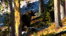 Grizzly Bear Searches For Cones In Whitebark Pine Forest Leaves Frame - Medium