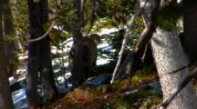 Grizzly Bear Walks Through Frame In Snowy Whitebark Pine Forest - Leaves Frame - Medium