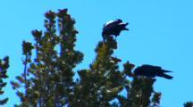 Two Ravens Eat Whitebark Pine Seeds Out Of Cones In Top Of Whitebark Pine Tree - Medium