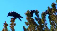 Three Ravens Eat Whitebark Pine Seeds In Top Of Whitebark Pine Tree - Medium