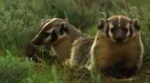 Two Badgers At Den Entrance - Some Digging