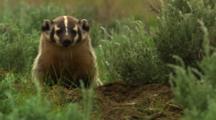 Badger At Den Entrance, Looks Around Towards Camera - Medium