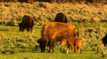 Bison Cow And Calf In Green Sage Meadow - Medium