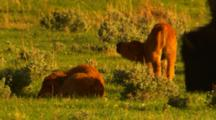 Two Bison Calves In Green Sage Meadow, One Gets Up And Leaves Frame - Medium