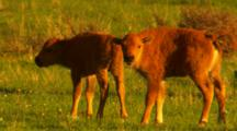 Two Bison Calves In Green Sage Meadow Interact With Each Other - Tight