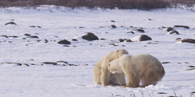Two male polar bears leap at each other to spar on their hind feet then drop back down.  Slow Motion.  Med.  Rocks and willows behind the bears.