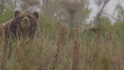 Kodiak brown bear and cub walk through tall green and golden grasses during snowstorm.   Heavy snow falling.  Med.  Slow Motion.  Bears are looking for and smelling for other bears.