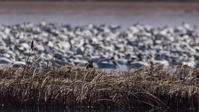 Flock of snow geese floating on Freezeout Lake.  Birds out of focus behind reeds/cattails in foreground.  Medium shot.