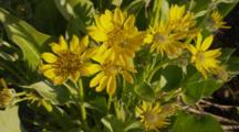 Yellow Daisy Wildflowers
