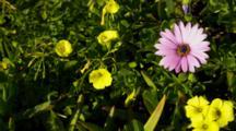 Close Up Flowers In Garden, Purple Daisy