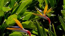 Bird-Of-Paradise Plants In Bloom