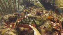 Juvenile Stoplight Parrotfish Eating On Reef