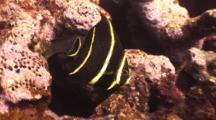 Juvenile Gray Angelfish