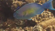 Ember Parrotfish Feeding With Bluestreak Cleaner Wrasse Drifting Over Coral