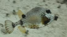 Smooth Trunkfish Swimming Over Reef