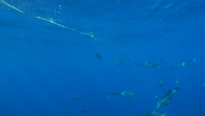 Great White Shark Circles bait