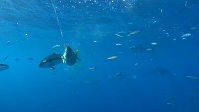 Yellowtail Jacks eating bait