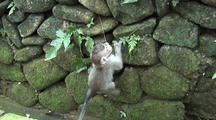 Crab-Eating Macaque / Long Tailed Macaque (Macaca Fasicularis)  Infant Climbing