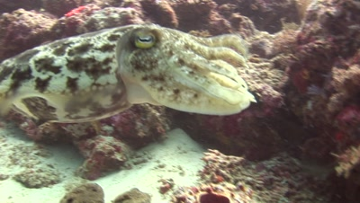 Reef Cuttlefish Color Changing, Fleeing.